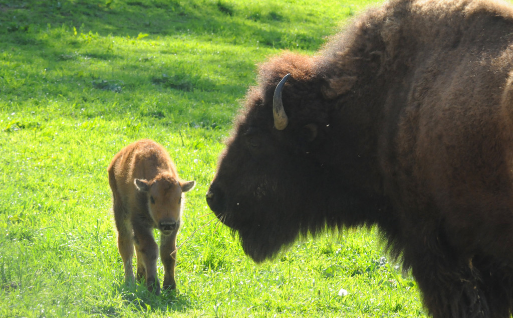 Bison at South Park.