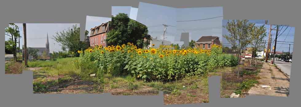 Sunflowers take roots in vacant lots. Montage by Brian Cohen.