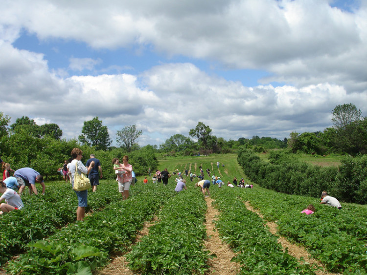 Strawberry Picking Photo credit: Soergel Orchards