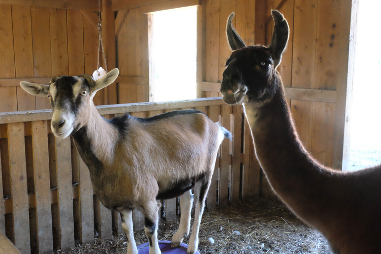 Llamas, goats, you name it at Hope Haven Farm. Photo by Brian Cohen.