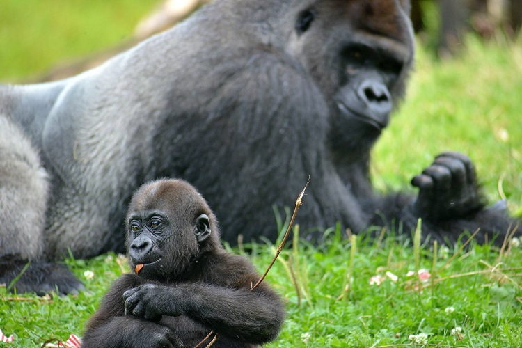 Mrithi the gorilla and his son Ivan. Image courtesy of Pittsburgh Zoo.
