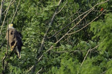 The bald eagles on the Hays parkland property. Photo by Dana Nesiti of the Eagles of Hays PA Facebook page