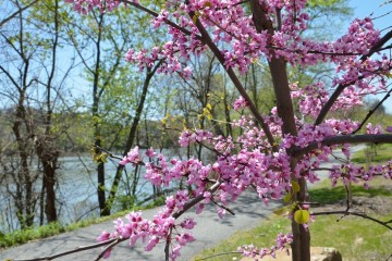 Redbud flowers. Image courtesy of WPC.